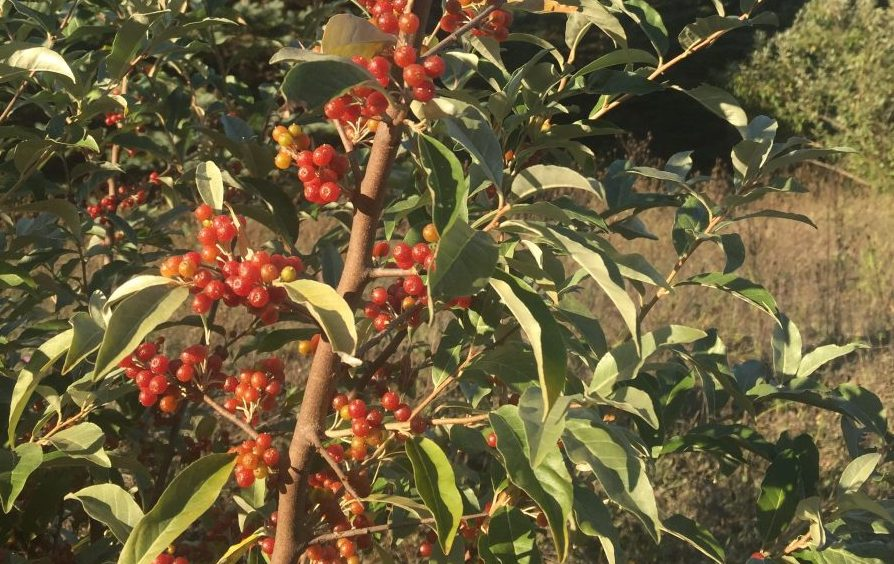 autumn olives found in Leelanau County
