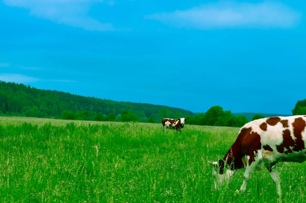 cows grazing in field bright blue sky