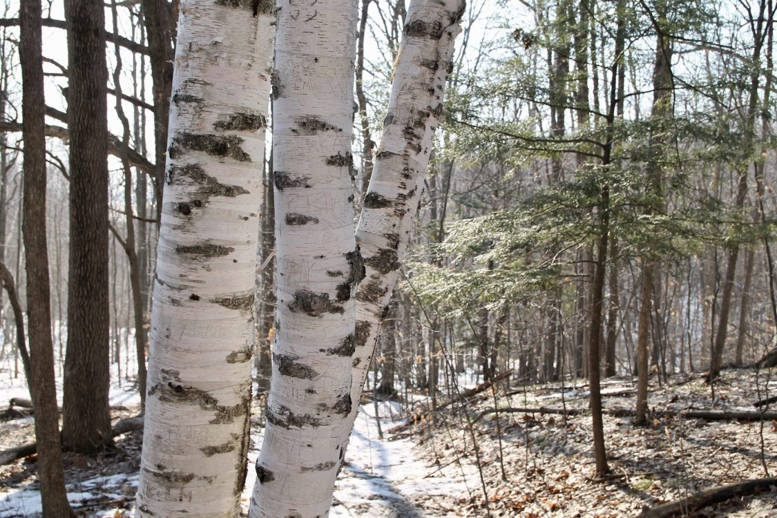 forest scene of birch trees and evergreens